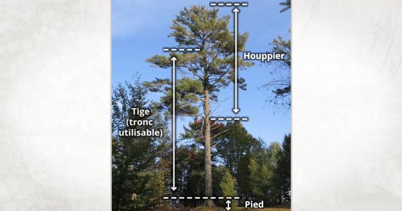 Vidéo : Composantes architecturales des arbres résineux